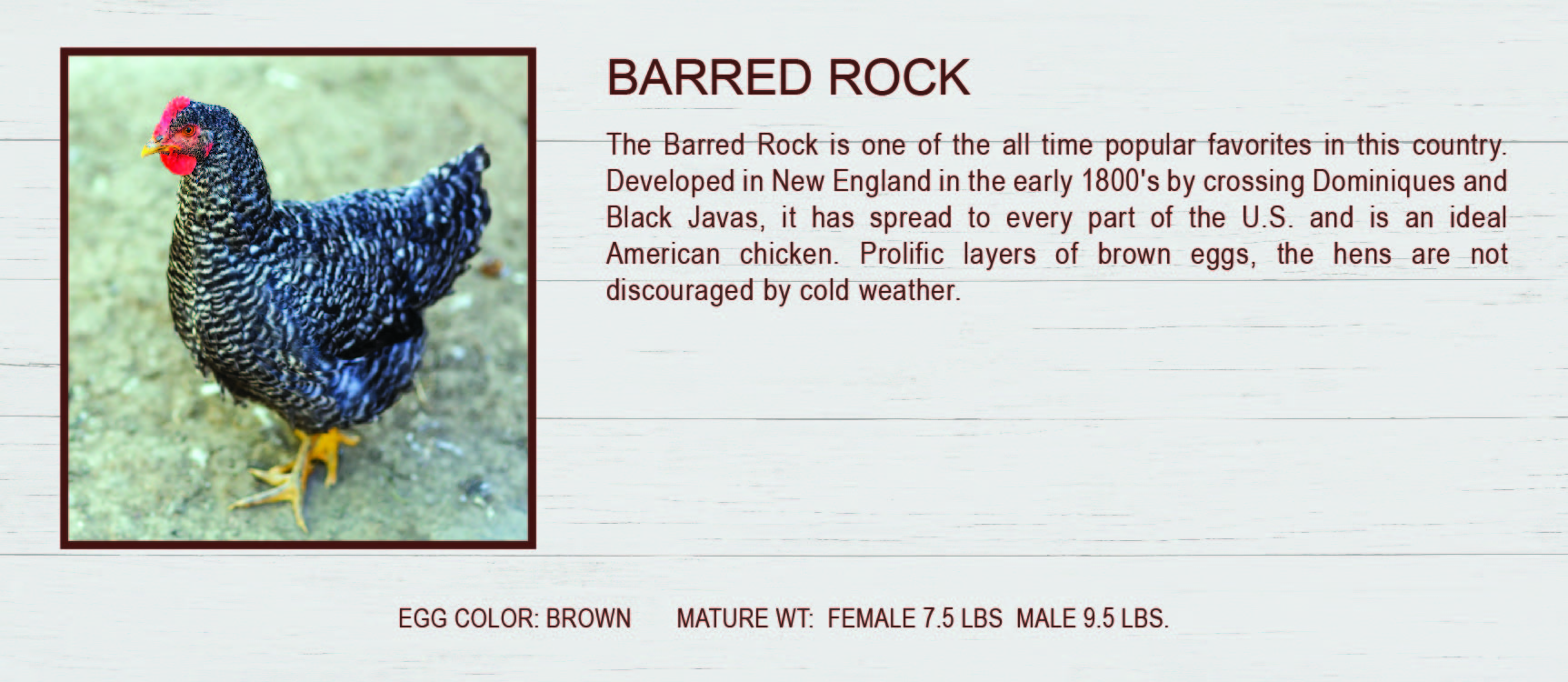 Barred Rock